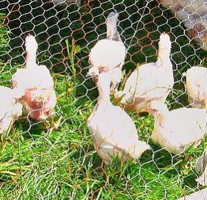 chicken-crop