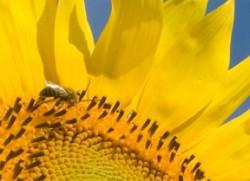 bee-sunflower2-250x181