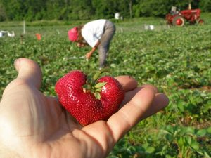 Picking Your Own Strawberries!