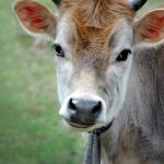 Heifer Day 2014, Canterbury Shaker Village